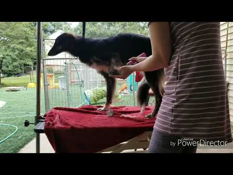 Basic Grooming video for Silken Windhounds