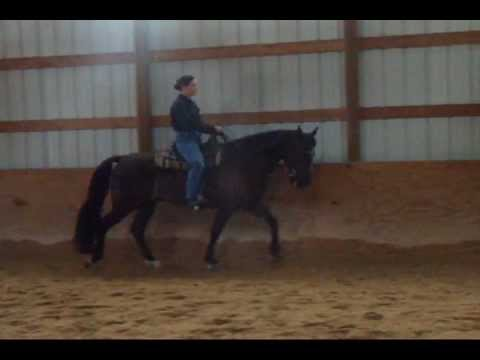 Training a Trotting Tennessee Walking Horse to gait - Part 1 - YouTube