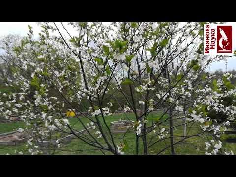 Слабый урожай вишни и сливы? 2 простых приёма для солидных урожаев! | урожайные | смородина | процветок | вредители | русских | иванова | яблоки | урожай | борьба | яблон