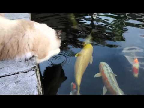 Gato se hace amigo de los pescados en un acuario
