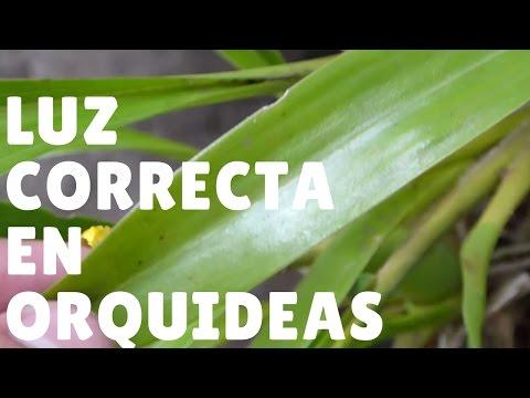 ¿Cómo saber si una orquídea tiene suficiente luz? || Orquiplanet