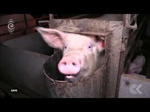 Pig Farming Like You Ve Never Seen Before