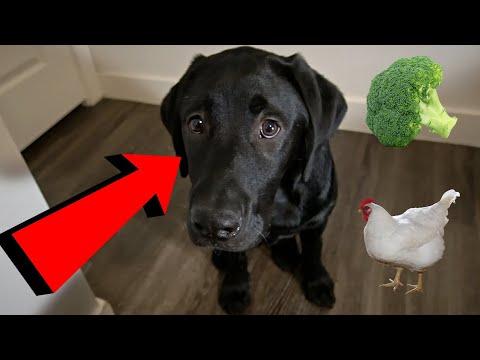 Labrador Puppy Reviews Food!!