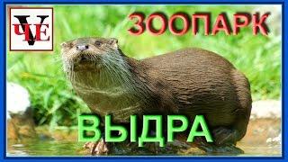 Челябинский зоопарк.  Речная выдра.