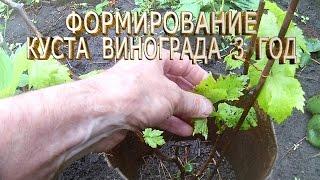 Формирование куста винограда 3 год.Формирование винограда весной.Как правильно формировать виноград