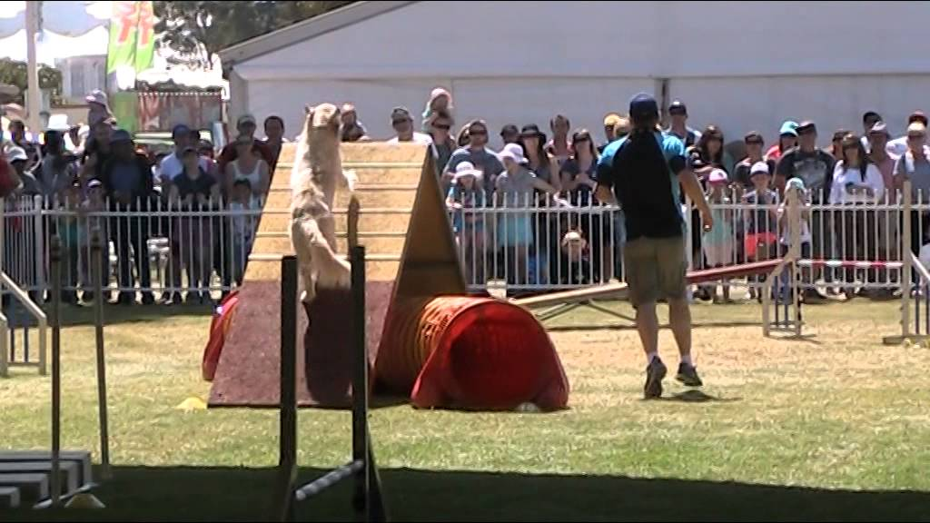 Dexter masters agility perth royal show 2015 youtube for Pool show 2015 perth