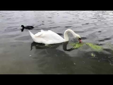 Mute Swan Dreaming