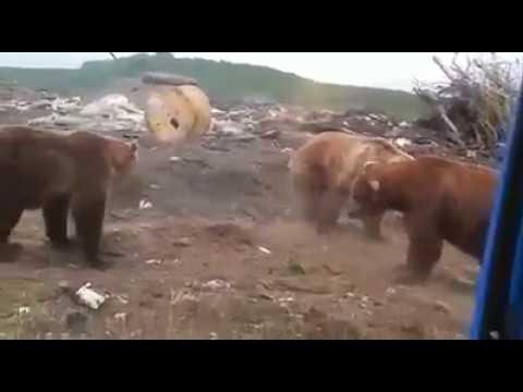 Медведи оккупировали свалку под Канском