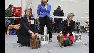 Монопородная выставка собак памяти Ю.Никулина 21.02.2016, Йоркширский терьер