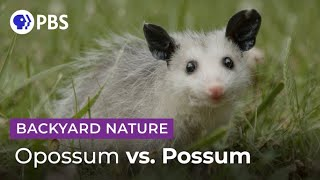 Mythbusting Opossum Facts | Backyard Nature