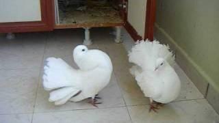 Kırkkuyruk - Güvercin