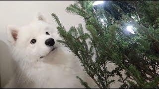 리얼 크리스마스 트리 쇼핑 다녀왔어요! (feat. 사모예드&폼피츠)