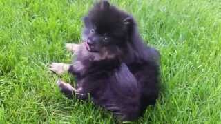 Cute Fluffy Puppy Jack Sees An Airplane