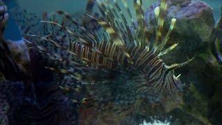 Cuba, l'invasiva minaccia del pesce scorpione si cura a tavola