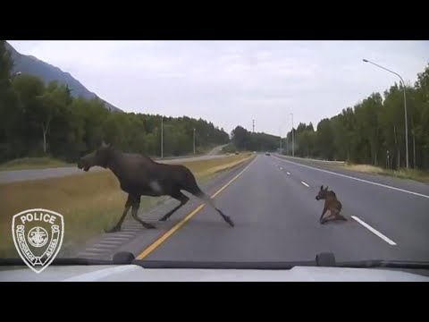 Cop's Heart-Stopping Encounter With 2 Moose on Highway