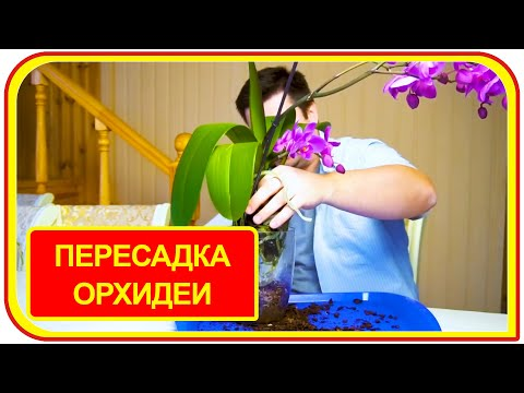 Пересадка орхидеи в домашних в условиях пошагово. Цветущая орхидея видео.