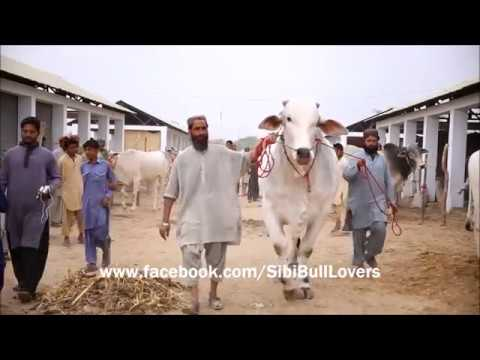 Beautiful  and Dangerous Bulls of SIBI Pakistan