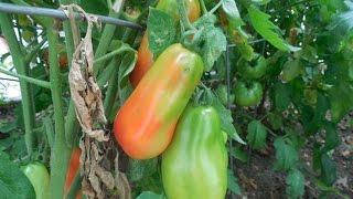 Harvesting Heirloom and San Marzano Tomatoes