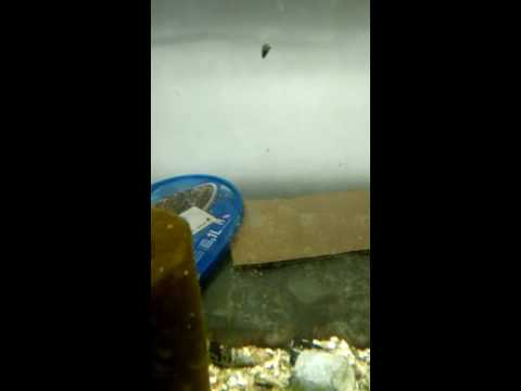 Tylomenia caracol elefante conejo sulawesi, Helena, manzana gold stripped pomacea diffusa fish room