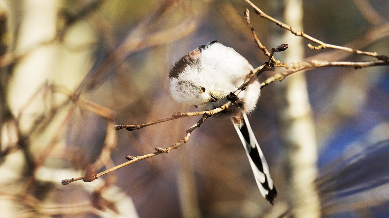 Download Small flock of cute LONG-TAILED TITS feeding