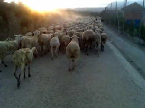 Con Las Bicis En Medio De Un Rebaño De Ovejas En Los Rodeos Murcia
