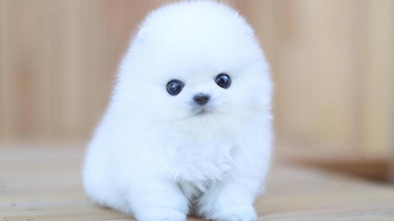 Pomeranian Bath Pomeranian Grooming Pomeranian Haircut Compilation 5 Youtube