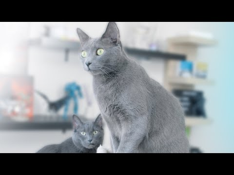 Russian Blue Cats - Afternoon Routine