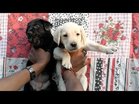 Labrador Puppies For 8650006680 In
