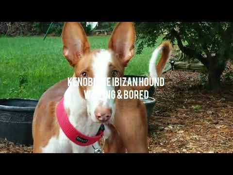 Kenobi the Ibizan Hound is bored