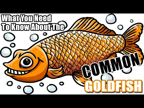 Common Goldfish - Cool Info About The Common Goldfish