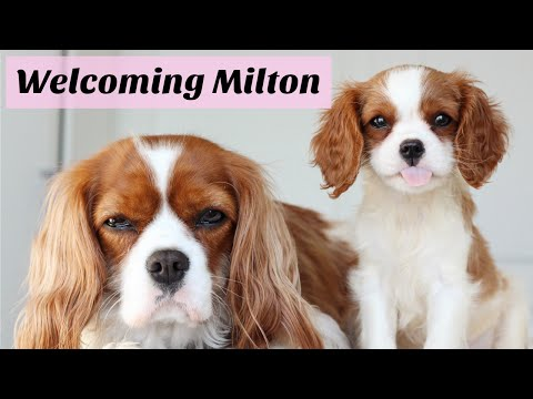 Welcoming Milton | Cavalier King Charles Spaniel puppy | Herky the Cavalier