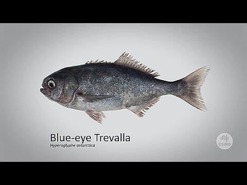 Sustainable Catch: Blue-eye Trevalla
