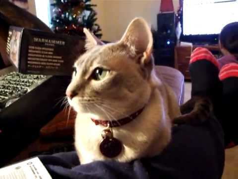 Tonkinese friendly lap cat