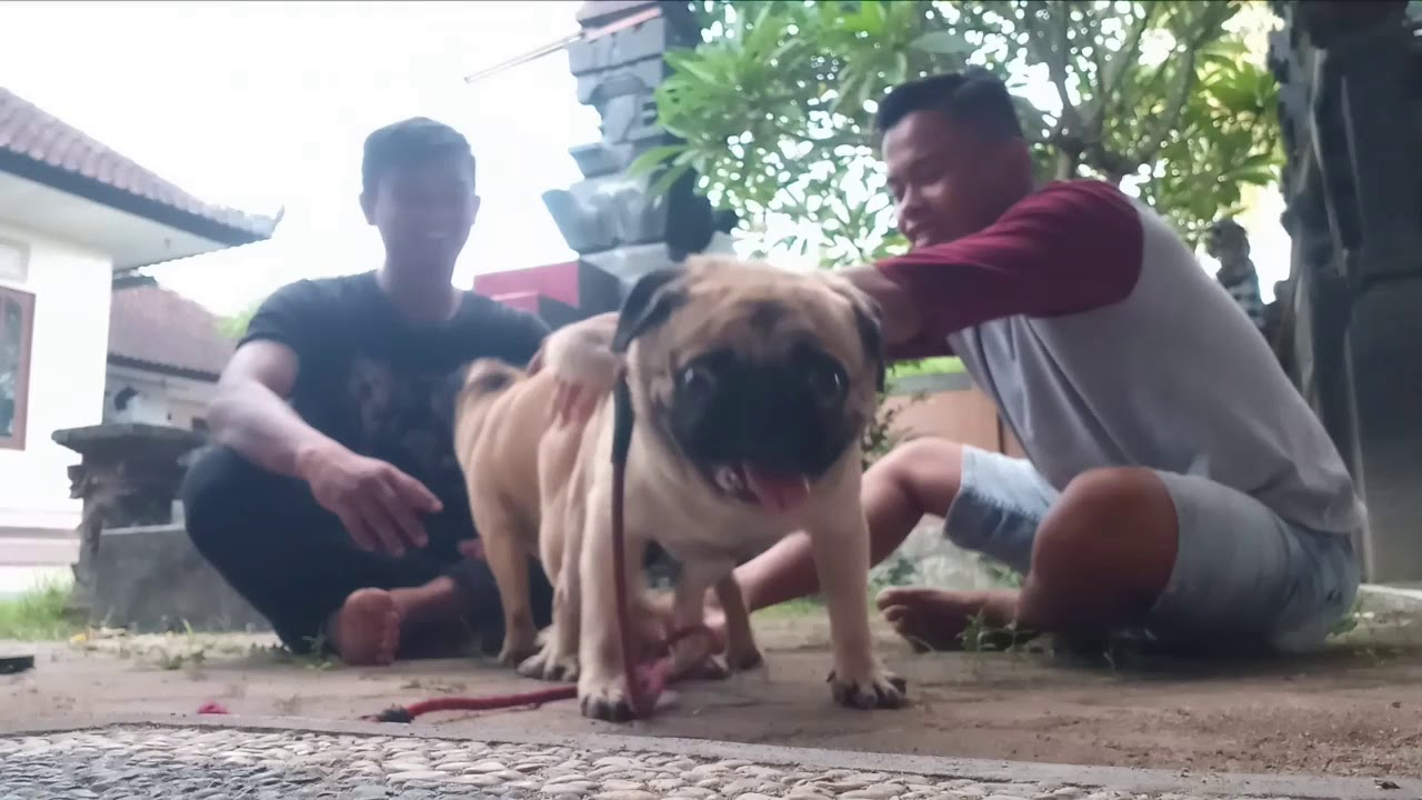 Cara Mengawinkan Anjing Jenis Pug Youtube