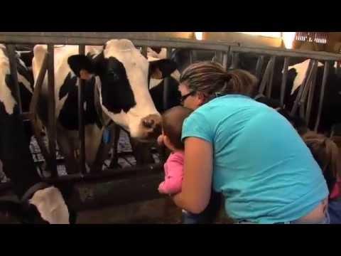 Les vaches de Thiverval-Grignon produisent 1,6 millions de litres de lait par an