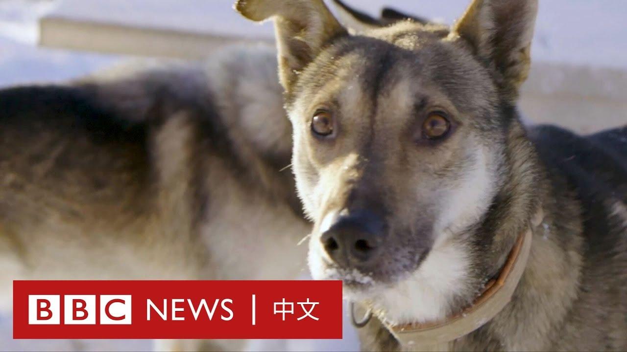 疫情滯留期間,16隻哈士奇陪伴他等待回家的飛機- BBC News 中文