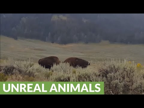 Intense bison stand off in Lamar Valley, Yellowstone National Park