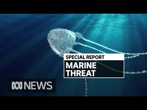 How Far South Could The Deadly Irukandji Jellyfish Travel On Queensland Beaches? | ABC News