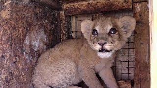В Волгограде полицейские спасли от гибели львенка, которого контрабандой везли в Москву.