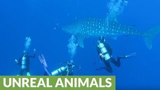 Scuba divers swim with the giants of the sea