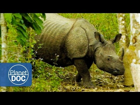 Indian Rhinoceros Full Documentary | On The Tracks Of The Unicorn - Planet Doc Full Documentaries