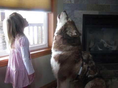 Alaskan Malamute, Cedar, howling