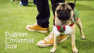 Pugs Get Festive At Pugfest Christmas 2014
