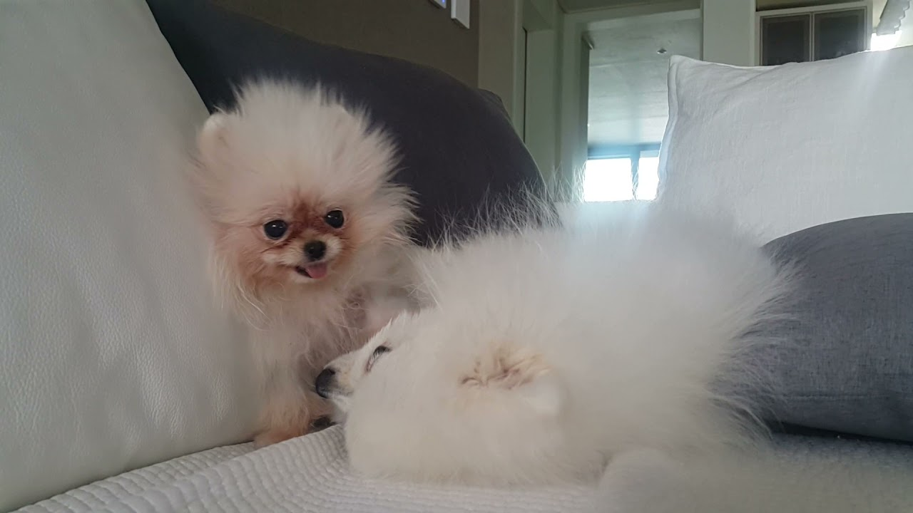 [baby]6개월 루디 vs 3개월 퐁키 ㅋㅋㅋ 입 크기 대결하는 아기 강아지