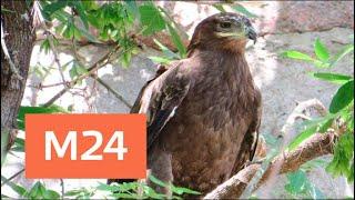 В Московском зоопарке степного орла назвали в честь Игоря Акинфеева - Москва 24