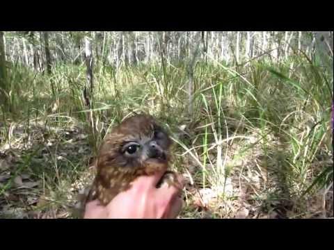 Kookaburras kill Boobook owl