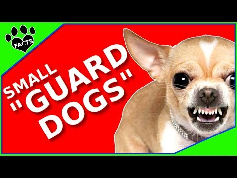 Small Guard Dog Breeds  Tiny Watchdogs