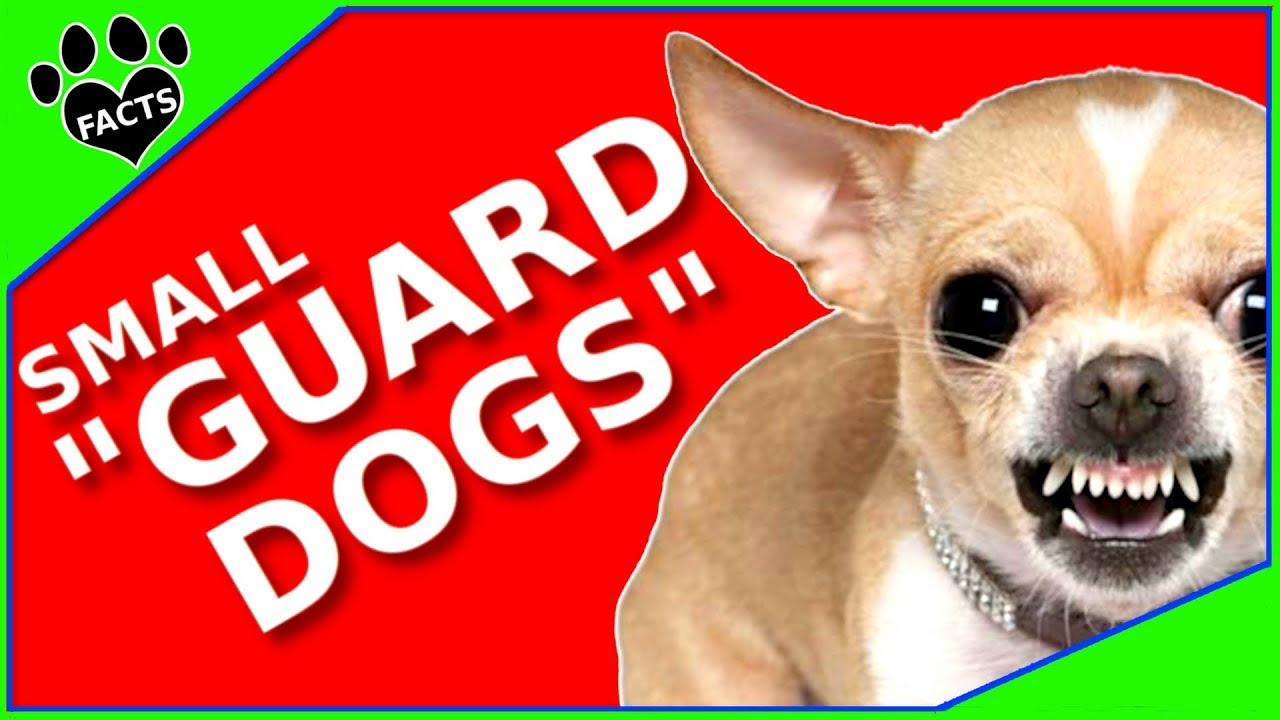 Top 10 Small Guard Dog Breeds Watchdogs TonTenz - Animal Facts