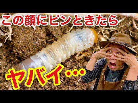 【2匹で全滅】この虫が鉢の中にいたらアウトです  【対策】【退治】【コガネムシ】【幼虫】 【カーメン君】【園芸】【ガーデニング】【初心者】