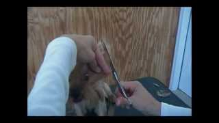 How To Groom A Yorkie In A Puppy Cut - Simply Teacups